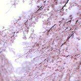異常気象の日本で雪の華!「桜隠し」とは??